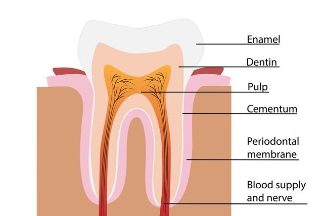 1 - آشنایی با ساختار دندان